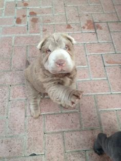 Lillac color bearcoat shar pei puppy.
