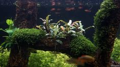 Based on their appearance, Bucephalandras are similar to Anubias and Cryptocoryne. Because of their very close appearance to the Cryptocoryne species, they were introduced as their alternative when… Freshwater Aquarium Plants, Planted Aquarium, Betta Tank, Fish Tank, Corals For Sale, Aquatic Ecosystem, Pet Fish, Plantar, Fresh Water