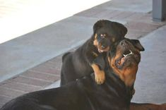 #Rottweiler #puppy loves his mom www.bullymake.com