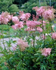Filipendula purpurea, Japanese meadowsweet or Queen of The Prairie. Mine rarely get this pink, but I wish they would-- possibly 'Alba' cultivar. Foliage can get trashy after blooming. It's usually the first plant to turn brown in the Fall.