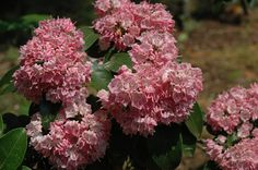 'Bridesmaid' Mountain Laurel: Mid-size version by of native, evergreen, deer-resistant shrub for the woodland garden. Flowers in late spring are two-toned pink. Needs acidic soil and can tolerate drier conditions in a more shaded location. Deer Resistant Landscaping, Deer Resistant Shrubs, Shade Flowers, Shade Plants, Clark Gardens, Woodland Garden, Shade Garden, Outdoor Rooms, Garden Inspiration