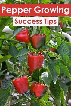 Grow Vegetables Quiet Pepper Growing Success Tips - Quiet Corner Planning to grow peppers this season? Peppers are chock-full of good flavor and nutrition. Here's a 22 Pepper Growing Success Tips to help you reap your best pepper crop ever. Growing Peppers, Growing Veggies, Growing Plants, Growing Tomatoes, Garden Types, Gardening For Beginners, Gardening Tips, Flower Gardening, Gardening Shoes