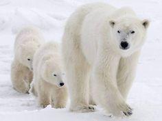 Mum with cubs, polar bears