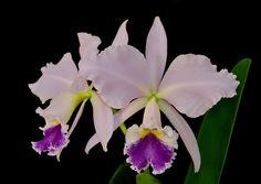 Cattleya labiata coerulea - Flickr - Photo Sharing!