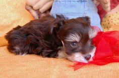 Chocolate and tan  Miniature Schnauzer Puppies