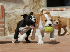 american staffordshire terrier - Google Search