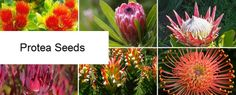 Growing Proteas _ Seeds for Africa