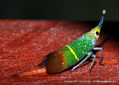 Fulgora lampestris   Flickr - Photo Sharing!