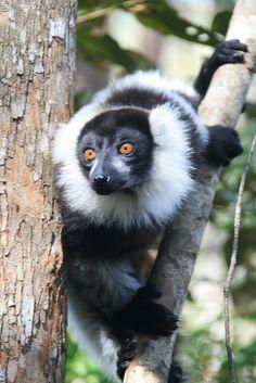 A black-and-white ruffed lemur at the Vakona Lodge Reserve, Madagascar.