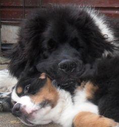 Best friends Bear & Buddy Newfoundland Dog & bernese mountain dog