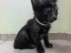 TO BE DESTROYED 8/12/14 ** BABY ALERT! The individual who had them has only been taking care of them for a little over a month. He stated that they are very playful and cute. Upon intake, they allowed me to transfer them into a carrier and to place collars around their necks. * Brooklyn Center  My name is SUZIE. My Animal ID # is A1009758. I am a female tortie domestic sh mix. 9 WEEKS old.  OWNER SUR on 08/08/2014 from NY 11208,  TOO MANY P. Group/Litter #K14-189321.