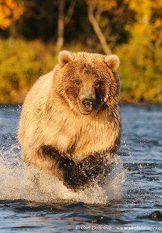 ~~Expeditions Alaska - Guided Alaska Backpacking Trips and Photo Tours | this image: A grizzly bear charges up the river chasing spawning Sockeye Salmon, Katmai National Park and Preserve, Alaska by Carl Donohue - www.skolaiimages.com~~