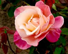 Want to grow some perfect roses this year?? Check out this massive list of tried and true Rose Gardening Tips for Beginners to Pros to grow gorgeous blooms!