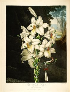 Madonna Lily | The temple of Flora (1800)