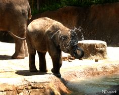 Baby elephant caught playing in the water, at the St. Louis Zoo. June 3rd, 2014