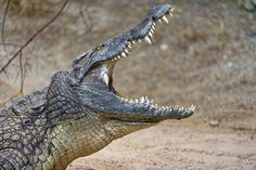 Saltwater crocodile with mouth wide open They scare the s....out of me. So Dangerous.