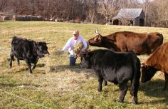Miniature Breeds Of Cattle That Are Perfect For Small Farms Miniature Cow Breeds, Miniature Cows, Dexter Cattle, Starting A Farm, Dog Runs, Small Farm, Farm Yard, Small Breed, Livestock
