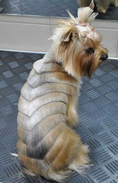 Yorkie Haircuts For Males / Females (Yorkshire Terrier schnauzer haircut styles - Haircut Style Chien Yorkshire Terrier, Yorkshire Terrier Haircut, Irish Wolfhound Puppies, Yorkie Haircuts, Dog Hairstyles, Haircut Pictures, Hairstyles Pictures, Yorkie Puppy, Teacup Yorkie