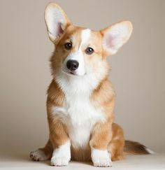 Corgi♡ Very similar to my Jossie. #PembrokeWelshCorgipuppy