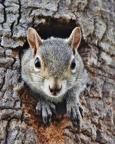 Secret Squirrel, Squirrel Girl, Cute Squirrel, Squirrels, Squirrel Humor, Mini Paintings, Animal Paintings, Country Art, Chipmunks