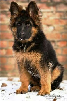 German Shepherd Pup ~ Classic Look Gsd Puppies, Kittens And Puppies, Cute Dogs And Puppies, Gsd Dog, Doggies, Cute Dogs Breeds, Best Dog Breeds, Best Dogs, Dog Photos