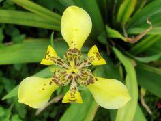 Yellow Walking Iris (Trimezia martinicensis)