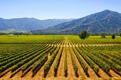 Vineyard in Maipo Valley, CHILE