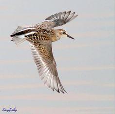 flying sandpiper bird