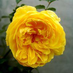 Molineux rose (David Austin roses)