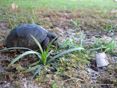 Baby tortoise (Aldabra Giant tortoise) #cousinisland #Seychelles
