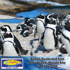 Endangered Sea life! Cape Penguin! Cape penguins are also called jackass penguins, because of their call, which sounds like a donkey neighing. This penguin breeds only in Africa. Why are cape penguins and other sea birds in danger? Loss of nesting sites, oil spills and food loss due to overfishing are a major threat to sea birds. #CapePenguin #endangered #penguins