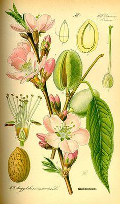 351px-Illustration_Prunus_dulcis0.jpg (351×599)