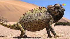 Namaqua Chameleon (Chamaeleo namaquensis) - found in the western desert regions of Namibia, South Africa and southern Angola. National Geographic Photography, Wildlife Photography, Reptiles And Amphibians, Mammals, Land Turtles, Safari, Desert Tour, Tortoise Turtle, Dominican Republic