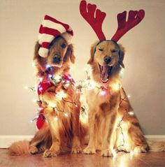 | Christmas pups || @Stephanie Close Close Close Huddleston @Chris Cote Cote Cote Harding puck & penny christmas :)