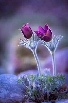 ~~Dream a little dream... | Pulsatilla Vugaris | by Peter Spellerberg~~