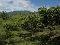 Our maturing Inga Seed Orchard, another key element of our Project Center which is rapidly taking shape.