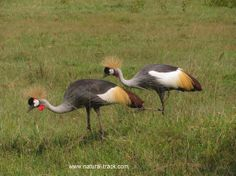 A pair of grey crowned crane looking for prey..http://www.natural-track.com/