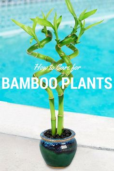 In this easy to understand instructions you will learn how to care for bamboo plants. Bamboo plants are perfect for home or the … - Alles über den Garten Bamboo House Plant, Indoor Bamboo Plant, Bamboo Plant Care, Lucky Bamboo Plants, Indoor Flowering Plants, Indoor Flowers, House Plants, Caring For Bamboo Plant, Lucky Bamboo Care