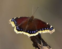 Mourning Cloak- 5/11/14 saw one of these at the nature center flying around the grape vines.