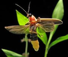 Symbolic Meaning of Fireflies - Spirit Animal Totem of Illumination