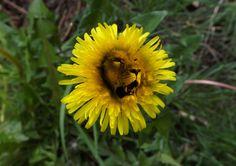 Dandilion Flower.