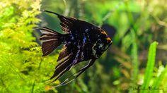 Skalar - Żaglowiec - czy znajdziemy akwarystę który nie zna tej majestatycznej ryby??