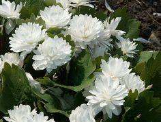 Blodört (Sanguinaria Canadensis 'Multiplex') - Trivs i sol-halvskugga i mullrik jord med lågt ph och god tillgång på vårfukt. Sprider sig långsamt. En vallmoväxt. En raritet. Hela växten starkt giftig. - 20cm hög - vita blommor - blommar maj-juni.