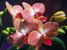 Orquídea,  Ecuador
