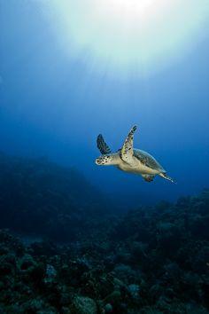animals, turtles, sea life, marine life