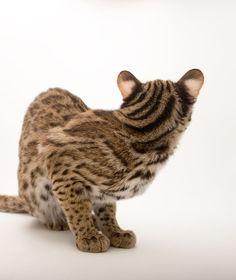 Small Wild Cats, Big Cats, Cool Cats, Asian Leopard Cat, Cheetah, Singular, Serval, Havana Brown, Catus