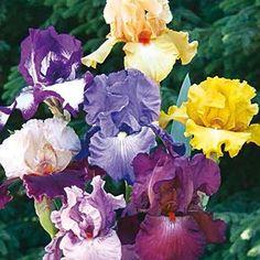 German Iris/Reblooming