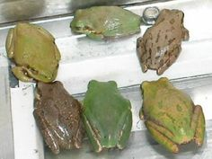 Frogs and More Frogs: Squirrel Tree Frog, Hyla squirella