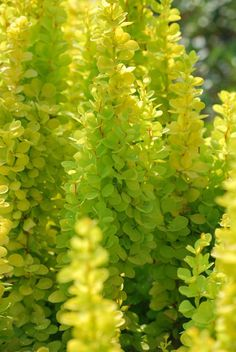 Japanese barberry 'Golden Torch'