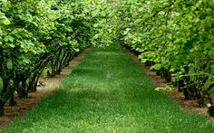 hazelnut tree orchard, my dream